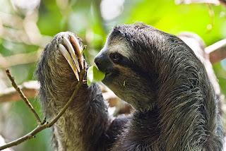 sloth berjari tiga hewan paling lambat dan metabolisme lambat