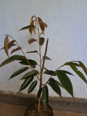 Bibit Durian Udang Merah Unggul