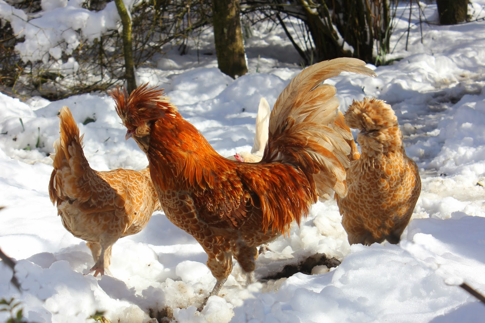 Polish chamois hens and rooster in the snow