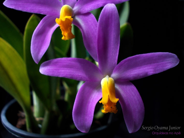 Mini-orquídea Laelia longipes