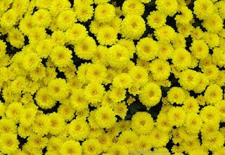 http://fotobabij.blogspot.com/2015/04/chryzantema-appro-yaune-kwiaty.html