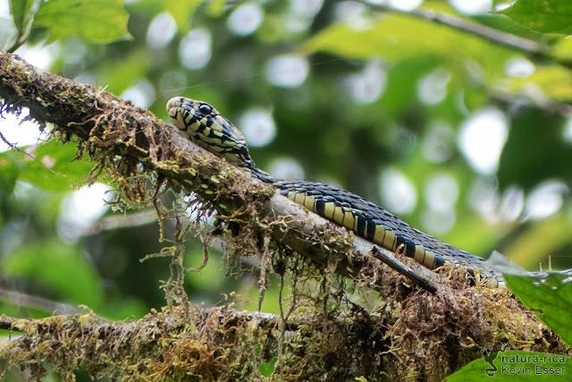 Spilotes pullatus - Tiger Rat Snake