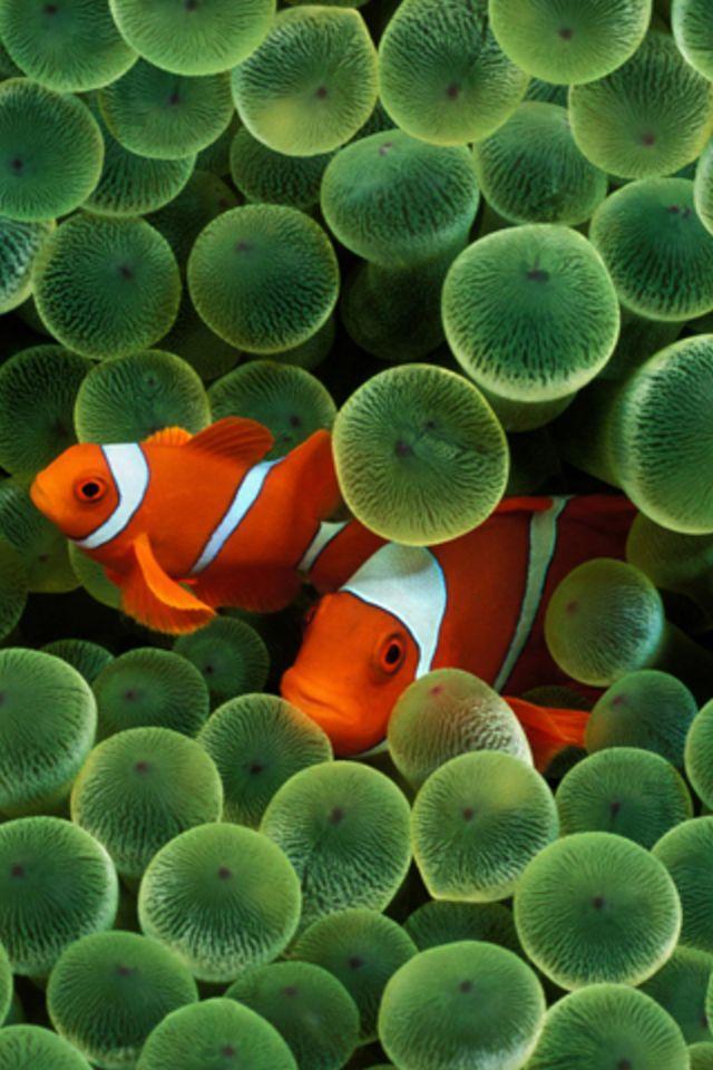 Apple Clownfish Wallpaper Iphone X Clown Fish Iphone Wallpaper Iphones Amp Ipod Touch