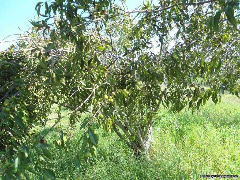Pokok Camu Camu