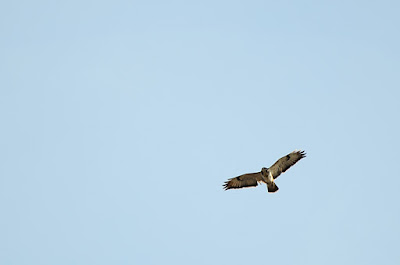 Buse-variable  Buteo-buteo