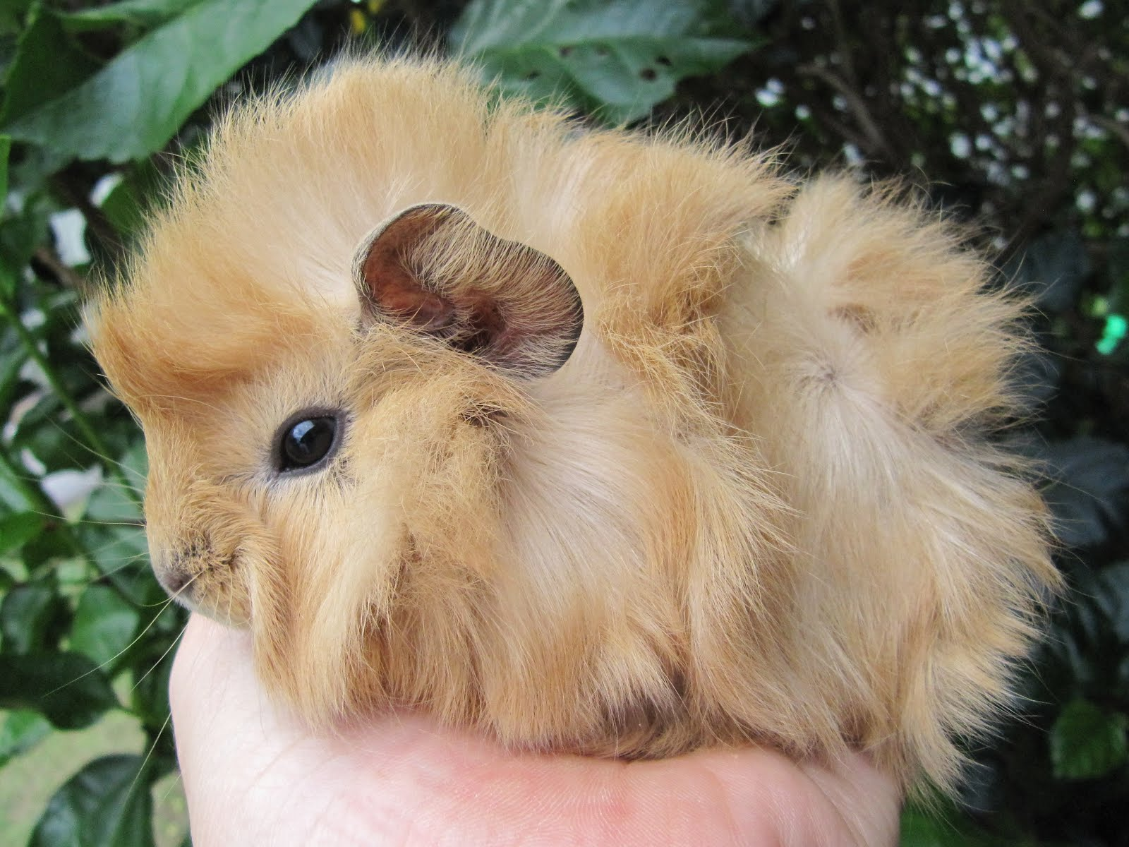 All Things Guinea Pig: Xeraphina's babies and the arrival ...
