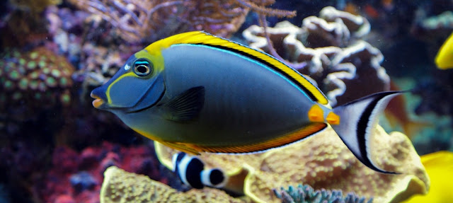 Gambar Ikan Naso Padang - Budidaya Ikan