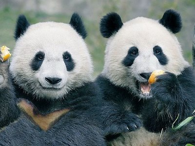 Cute Pandas Wallpapers Happy Pandas Cute Amp Funny Photos Funny And Cute Animals