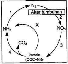 Pembahasan biologi un 2015 no 6 10 daur nitrogen ccuart Image collections