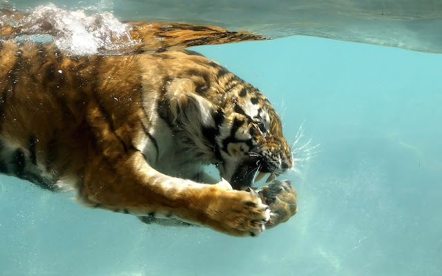 Foto van een zwemmende tijger