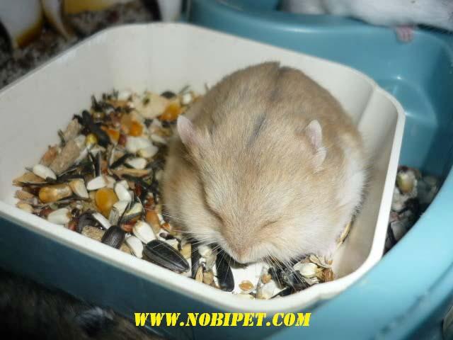 Bán Hamster winter white giá rẻ Đà Nẵng