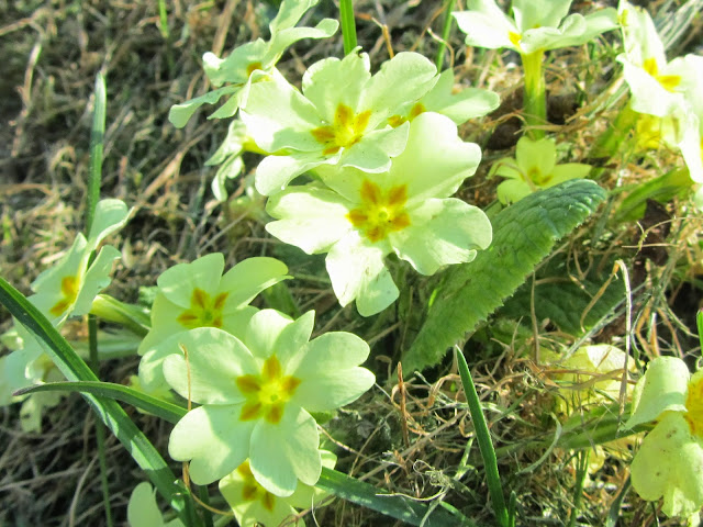 Primula vulgaris flowers