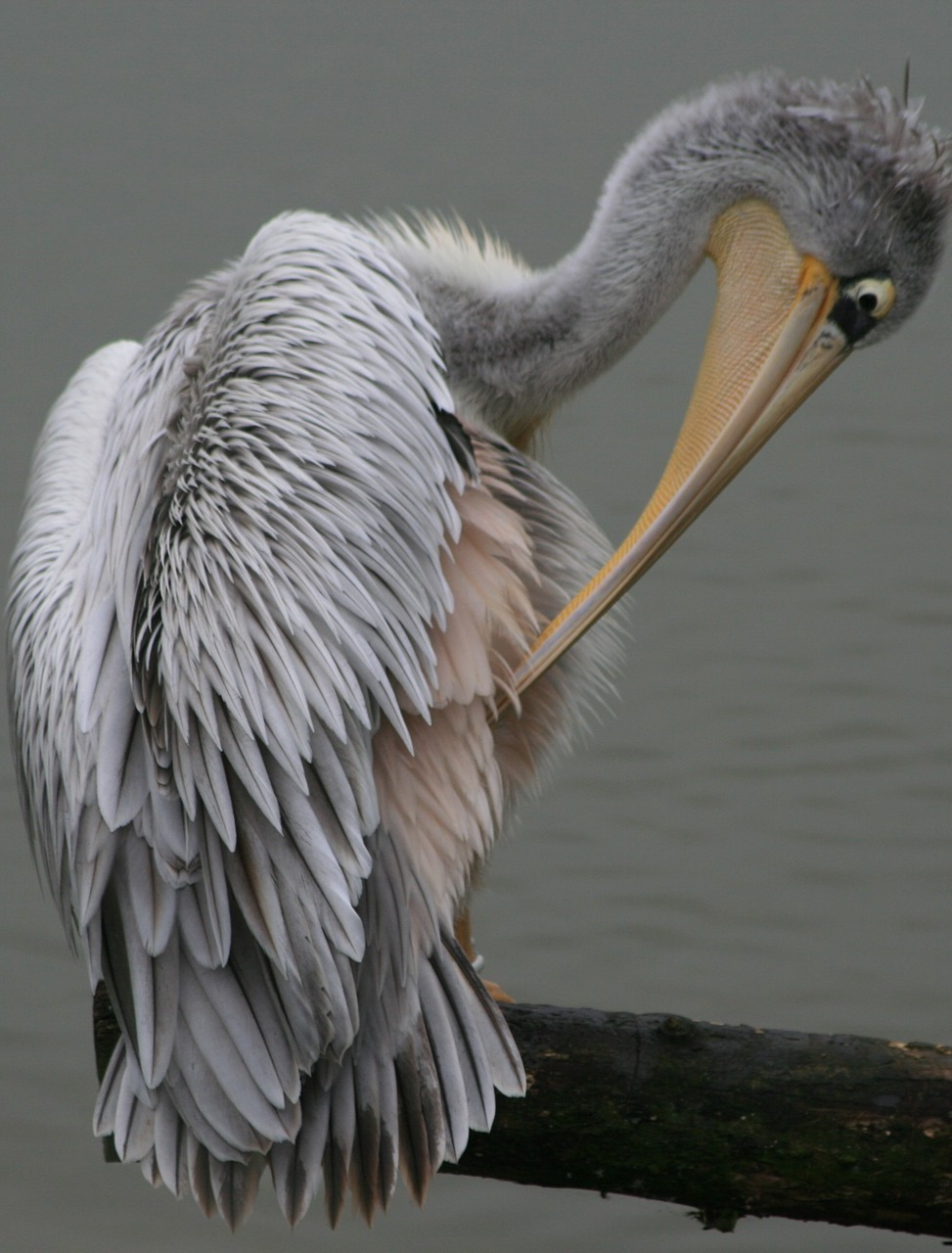 Pelican preening after a full bath.