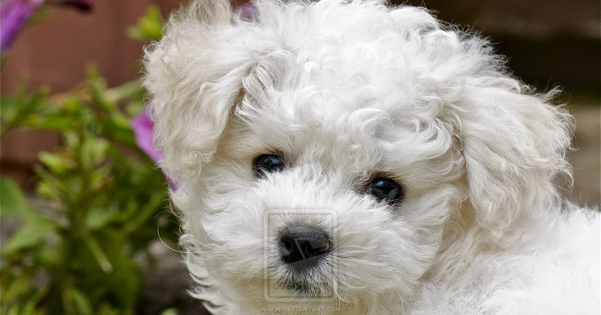Rules Of The Jungle Bichon Frise Puppies