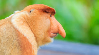 Why Does This Monkey Have Such A Giant Nose?