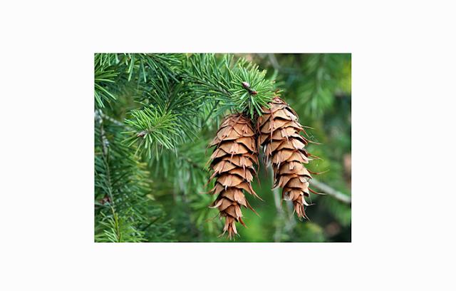 Pengertian, Ciri dan Klasifikasi Tumbuhan Berbiji