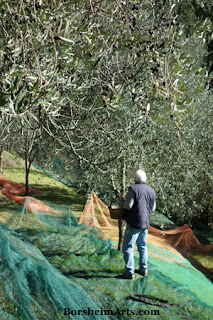 Picking Olives by Hand raccolta delle olive Harvest of the Olives Tuscany Setting out Nets