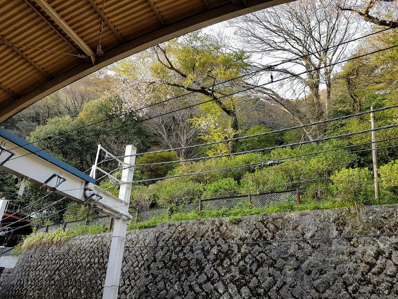 箱根湯本月台山上外的櫻花樹