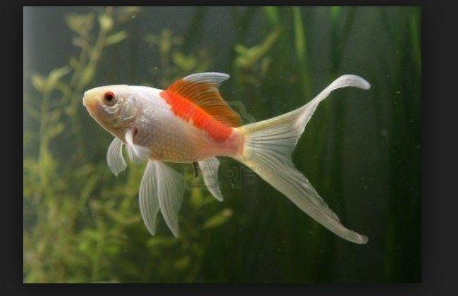 Ikan Komet, Cara Memelihara dan Merawatnya