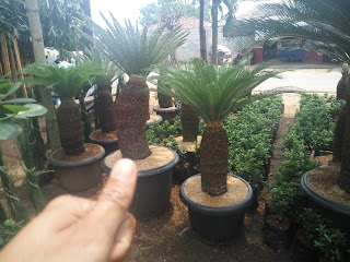 Pohon sikas murah