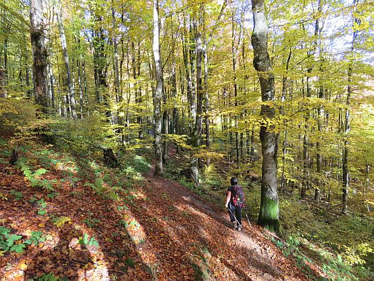 Las na Połoninie Caryńskiej.