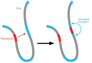 İnsan Genomunun Yapısal ve Fonksiyonel Özellikleri