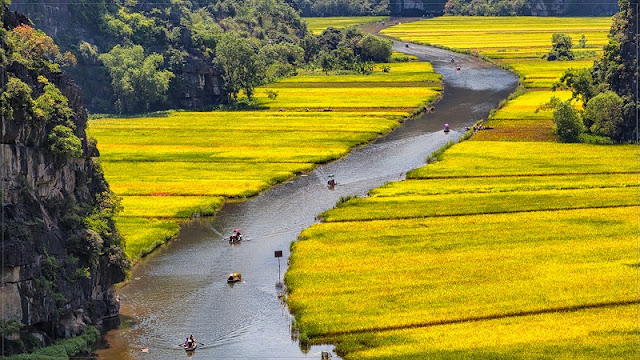 The golden rice fields during harvesting seasons in Northern Vietnam 2
