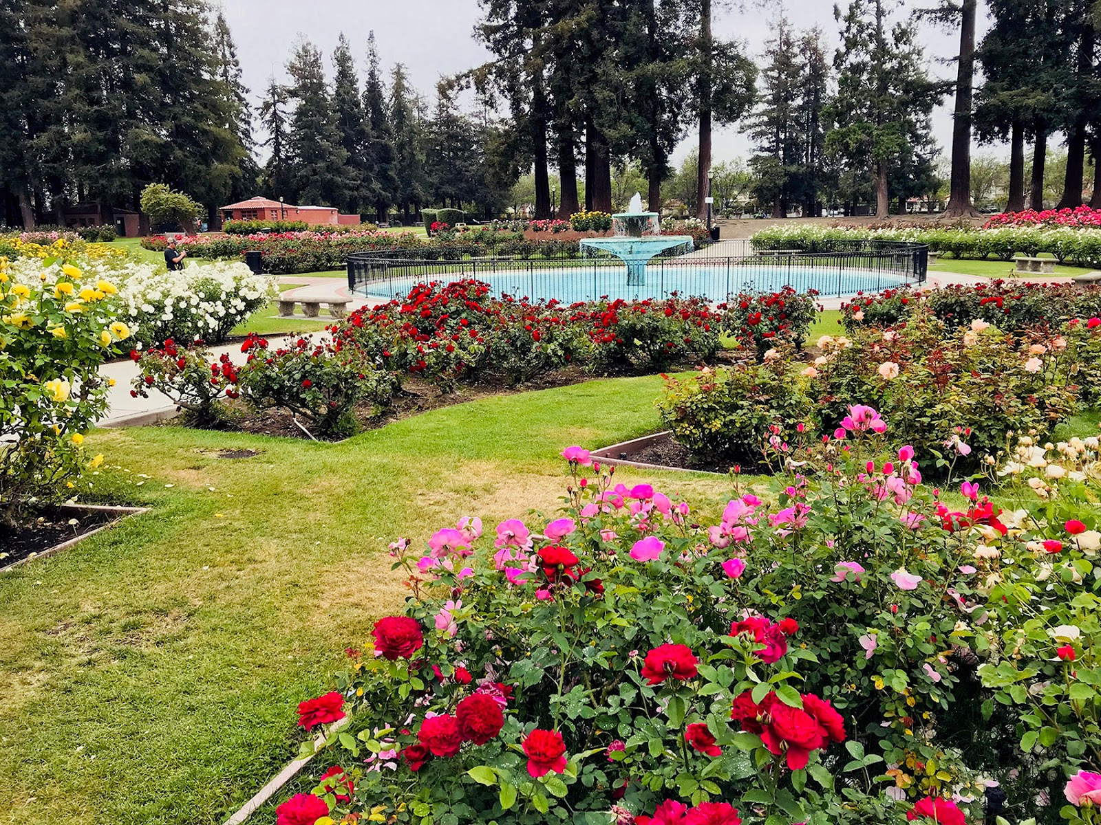 Roses In Garden: Paintsites Blog: San Jose Municipal Rose Garden, Thursday
