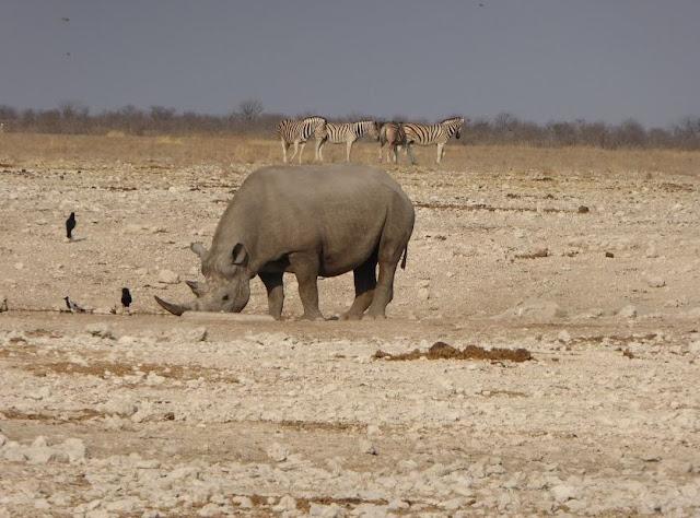 rinoceronte nero che beve all'etosha