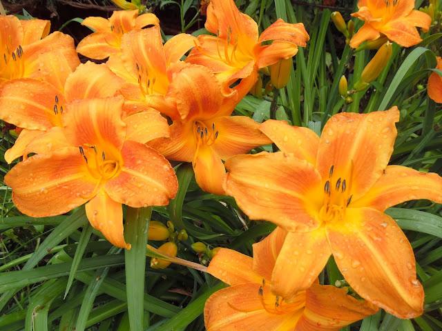 kwiaty liliowca Signal
