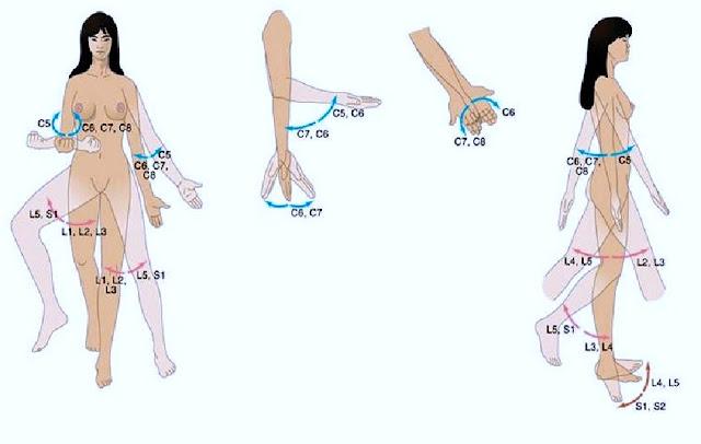 dermatome myotome area jari tangan dan siku