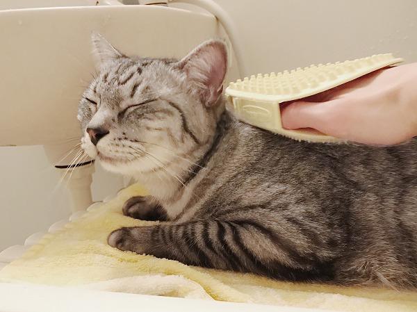 目を閉じてブラッシングを受けるサバトラ猫