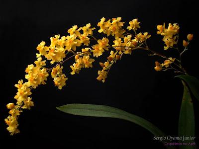Flores da micro-orquídea Oncidium Twinkle 'Yellow Fantasy'