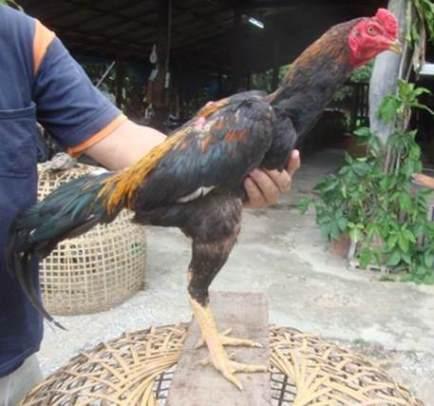 Tips Menambah dan Membesarkan Berat Badan Ayam Bangkok Aduan