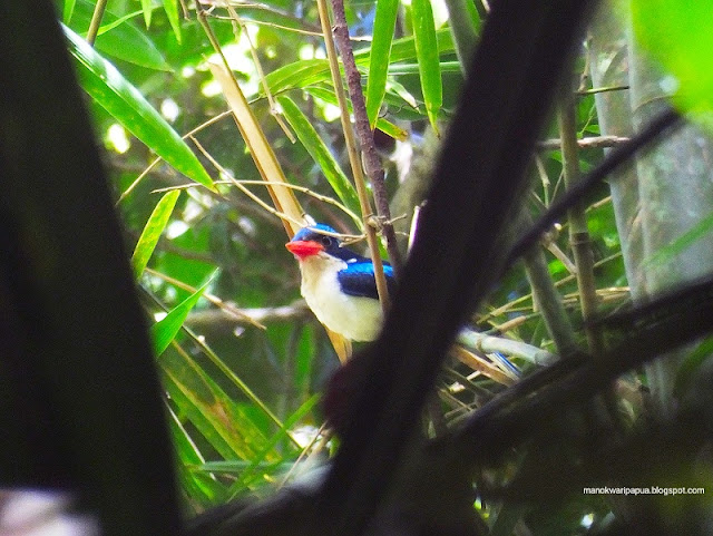 Common Paradise Kingfisher