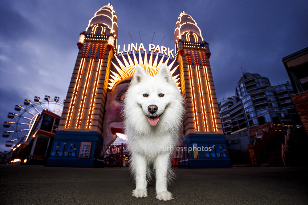 Tails of Sydney photography book showing a Samoyed dog in Luna Park at dusk