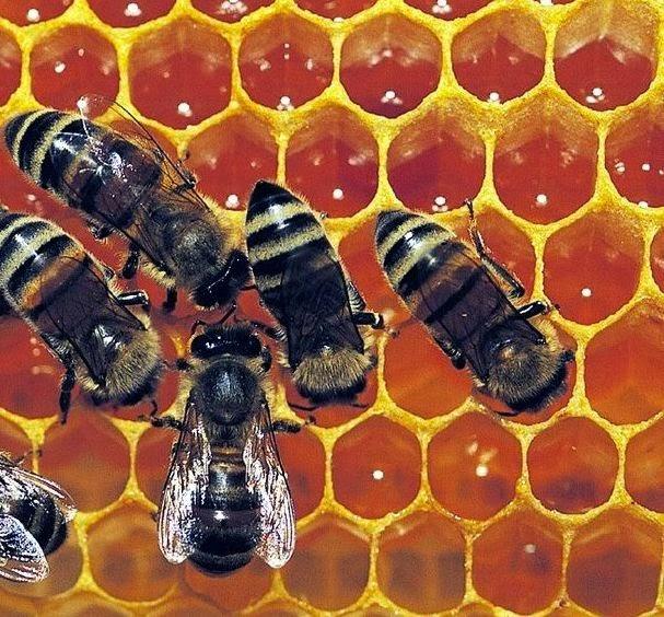 macam lebah madu