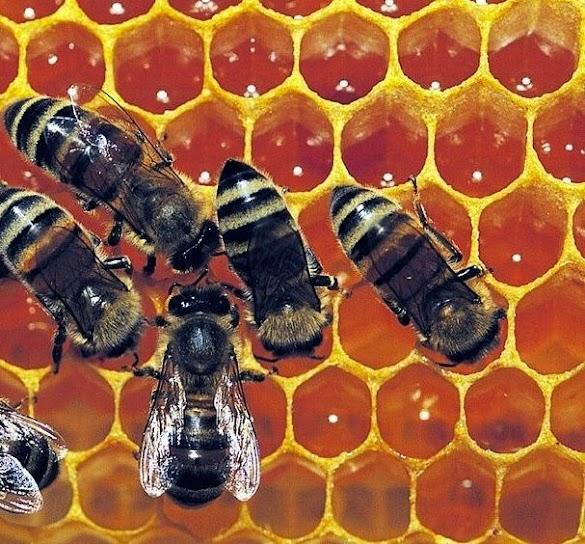 Macam-macam lebah madu dalam sarang menurut tugasnya