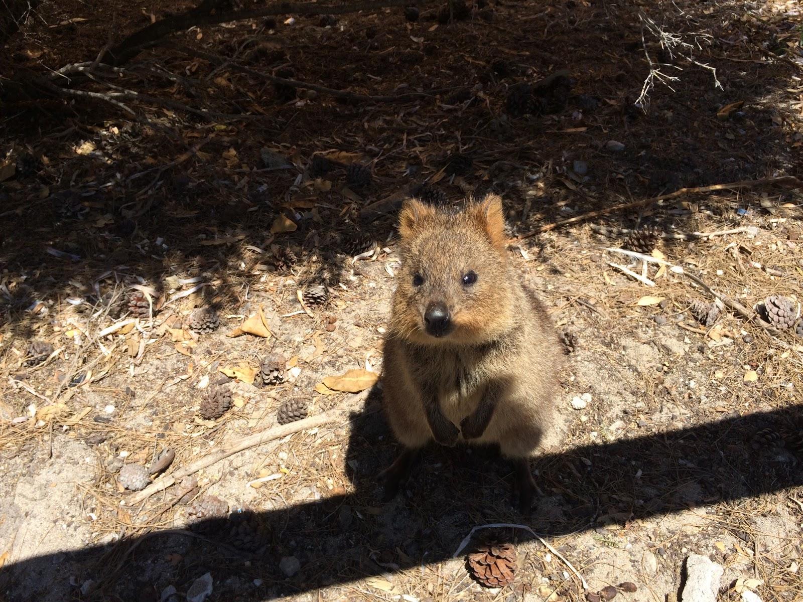 Quokka Selfie Rottnest Island Australia Travel Is My