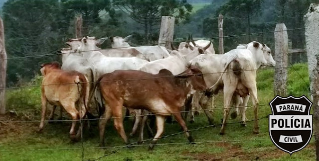 Operação da Policia Civil recupera gado furtado em Iretama
