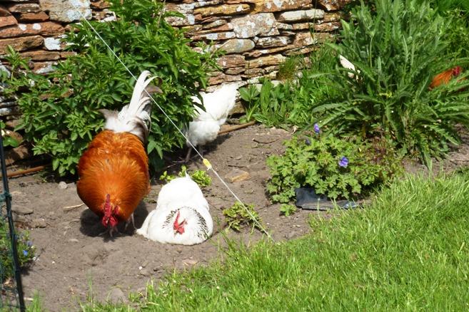 Life on a Small Island: Hens, Button & garden...