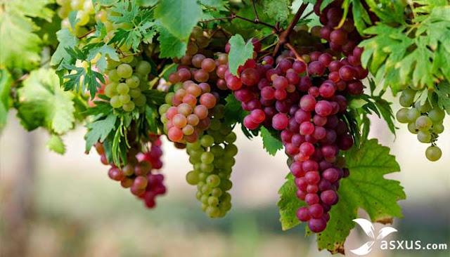 17 Cara Menanam Anggur Yang Benar Agar Cepat Berbuah