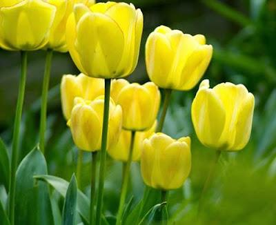 Wallpaper Bunga Tulip Kuning