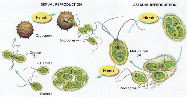 Cladophora asexual reproduction in fungi