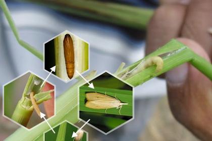 7 insektisida paling ampuh untuk penggerek batang padi