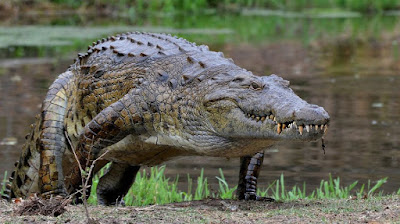 12 Amazing Facts About Crocodiles photo