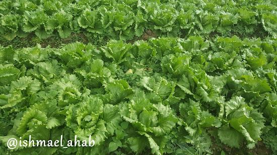 Fresh lettuce in Strawberry Farm in La Trinidad, Benguet