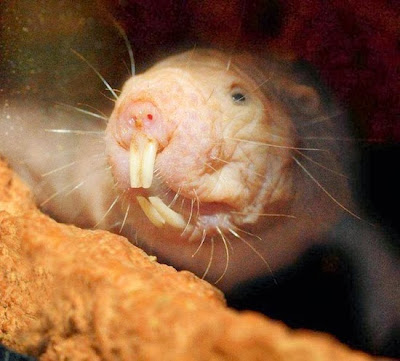 https://bio-orbis.blogspot.com.br/2014/01/rato-toupeira-pelado-e-o-cancer.html