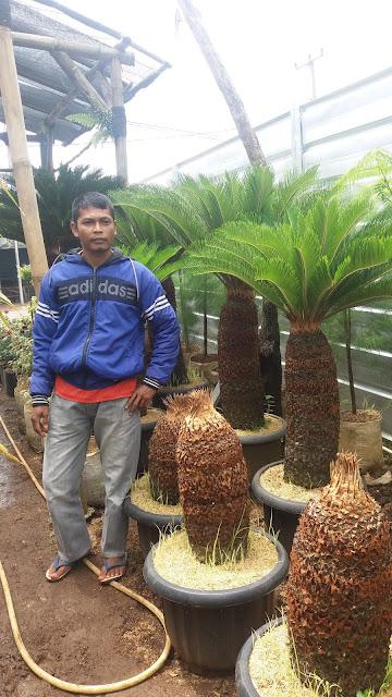 jual pohon sikas