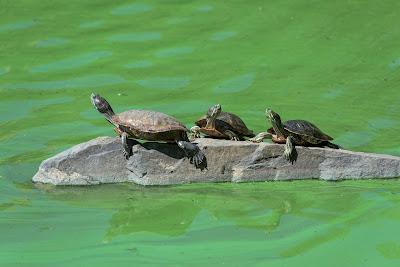 Turtles in the Central Park Lake- 5 Reasons Why Summer Will Be Missed